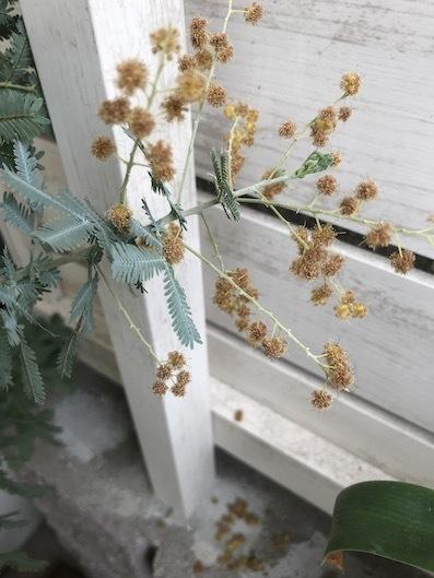 200309ミモザの花