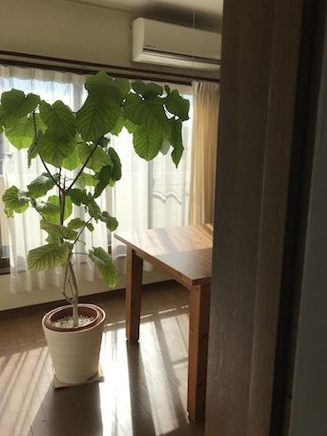 201102三階の部屋ウンベラータ