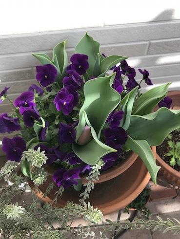 210306ビオラ紫