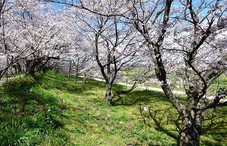 s-権現堂桜DSC_1965_01
