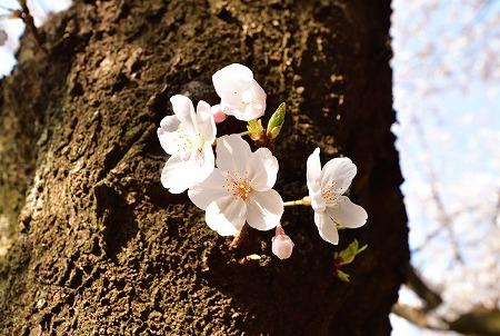 s-蕨公園桜DSC_2007_01