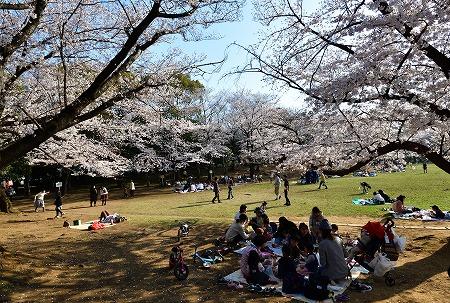 s-蕨公園桜DSC_2015_01