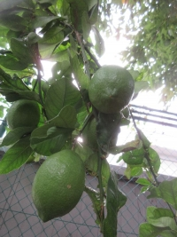 lemon2_20201014011838d85.jpg