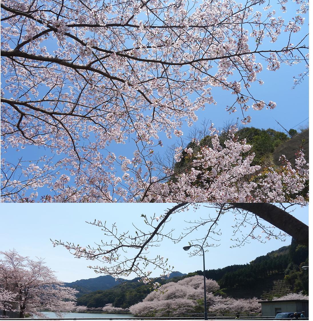 4n-sakura.jpg