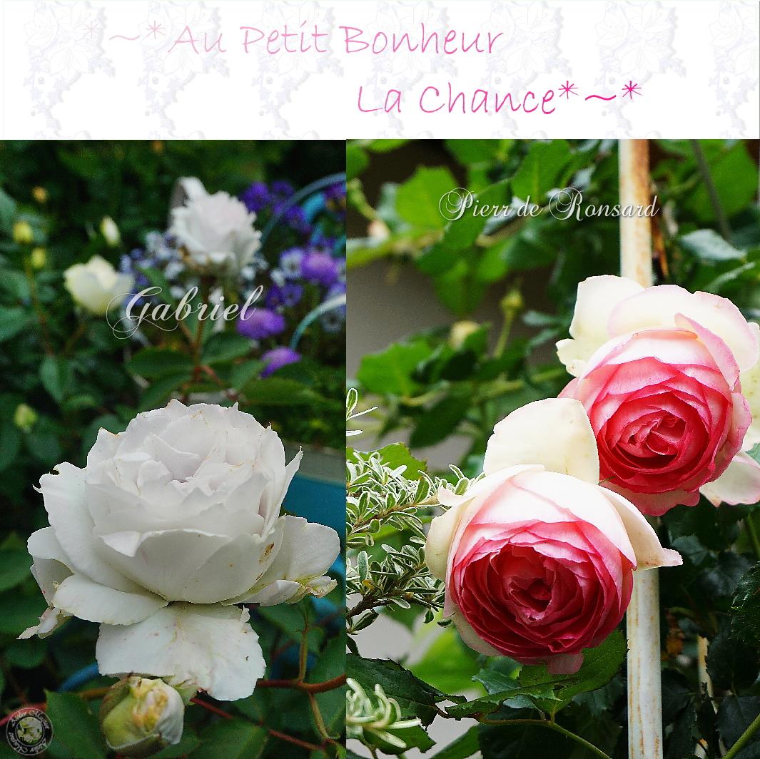 5rfc-roses.jpg