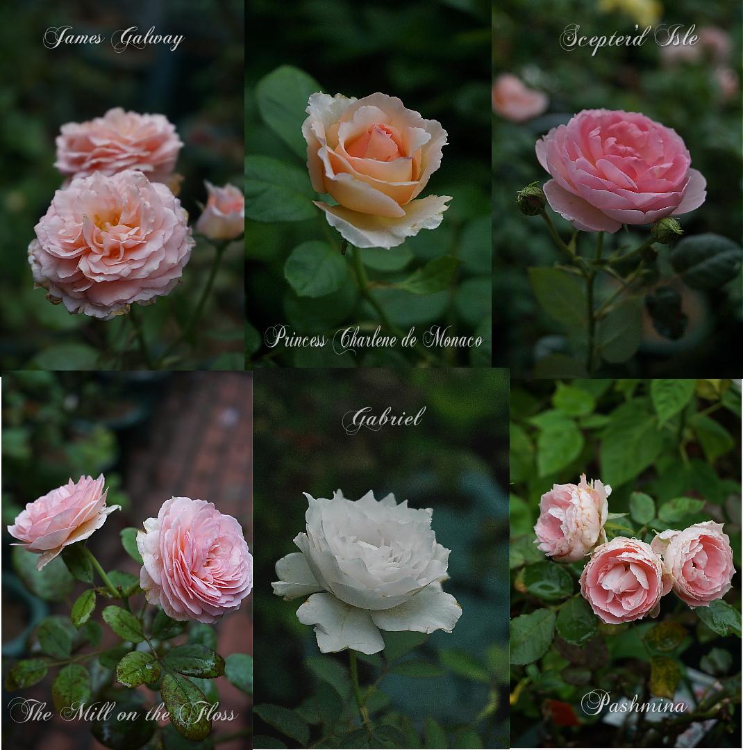 7rfe-rose.jpg