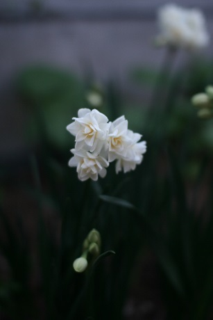 20200321香り水仙エルリッチャー