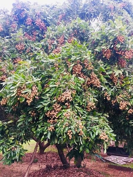 Lam Yai trees
