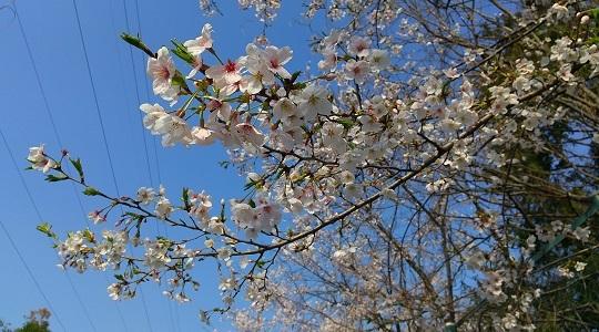 葉が出始めた桜