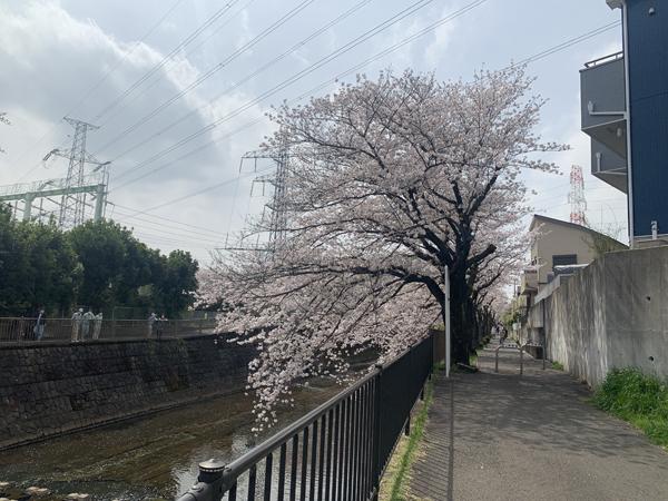 02恩田川桜