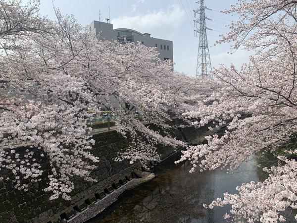 07恩田川桜