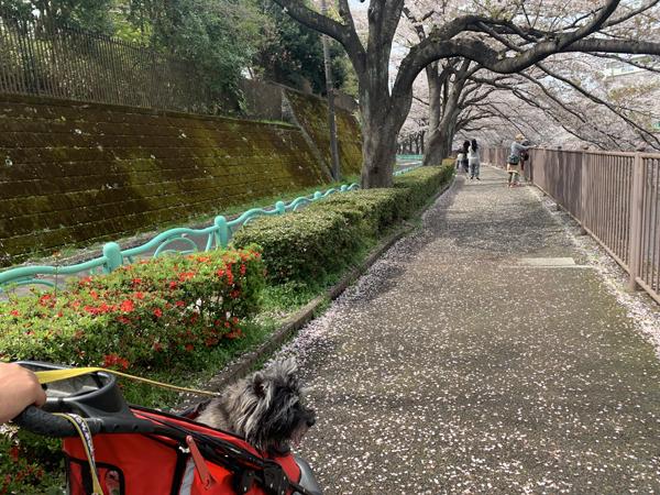 10恩田川桜