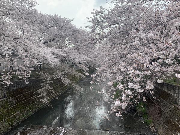 01恩田川桜