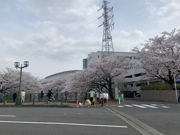 05恩田川桜