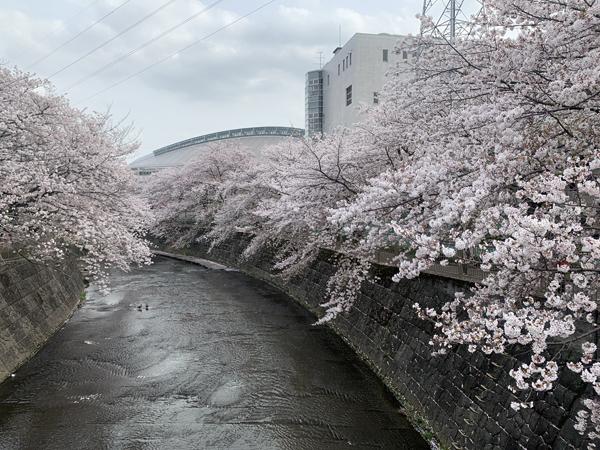 06恩田川桜
