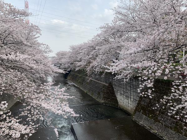 08恩田川桜