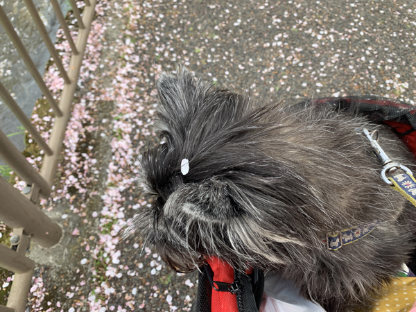 09恩田川桜