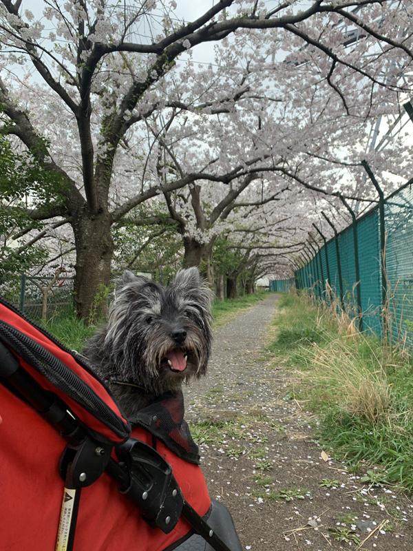 12恩田川桜