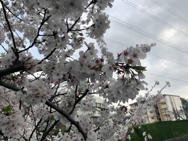 13恩田川桜