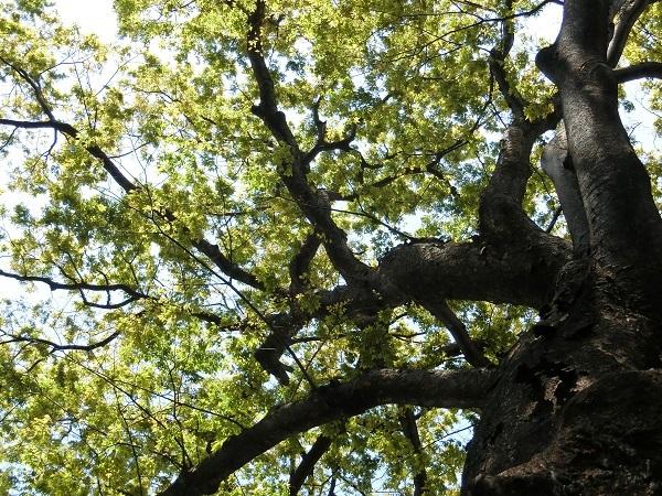ケヤキ並木の新緑