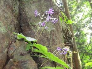 200810栗生山 (10)イワタバコs