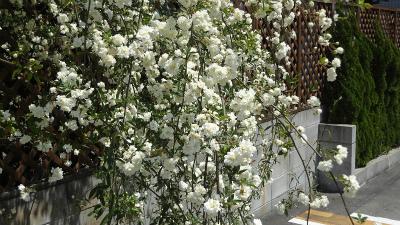s春の花5