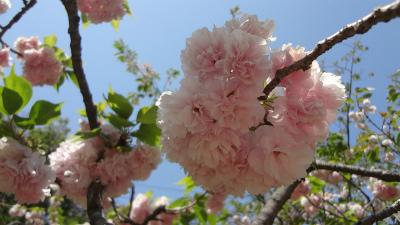 s春の花1