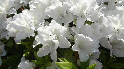 s春の花2