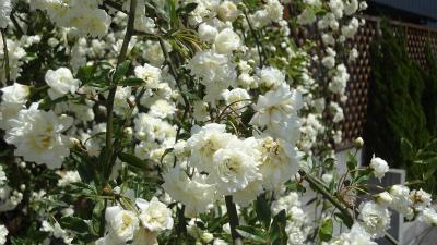s春の花6