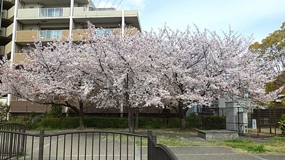 ソメイヨシノ:2020年4月に近くの公園で撮影