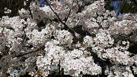 大泉緑地の桜 2021(わんぱくランドの桜のアップ)