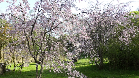 大泉緑地の桜 2021(「加呂登橋」近くのピンクの桜)
