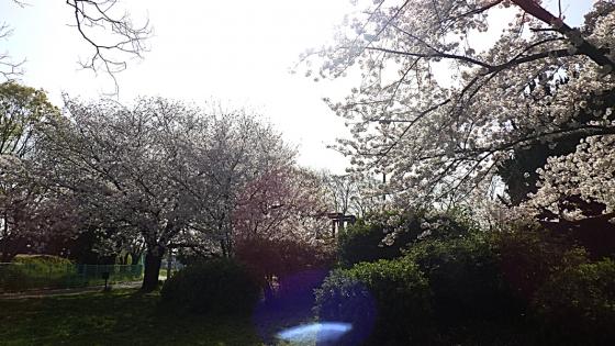 大泉緑地の桜 2021(「冒険ランド」の桜)