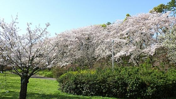 大泉緑地の桜 2021(「桜広場」の外周の桜)