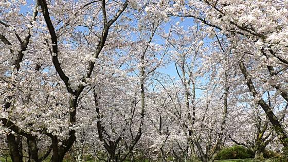 大泉緑地の桜 2021(「桜広場」の桜 少し高いところで)