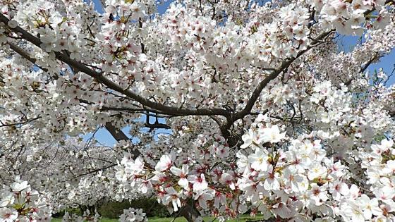 大泉緑地の桜 2021(「桜広場」のやや低めの桜 少し見上げて)