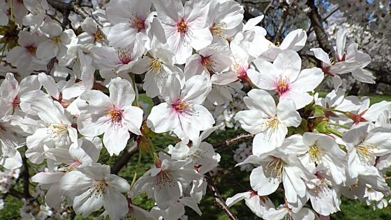 大泉緑地の桜 2021(「桜広場」のやや低めの桜 アップで)