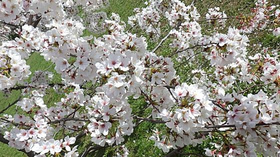 大泉緑地の桜 2021(「桜広場」のやや低めの桜 見下ろすように)