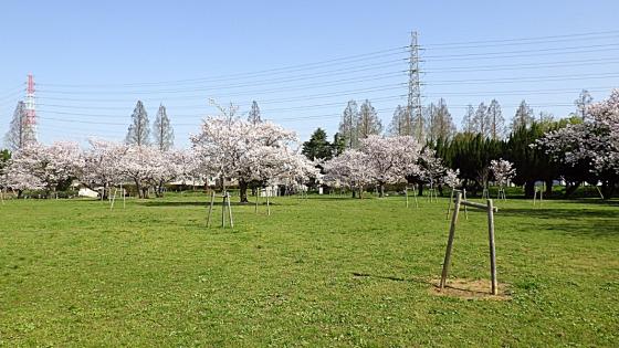 大泉緑地の桜 2021(「桜広場」を見渡す感じで)