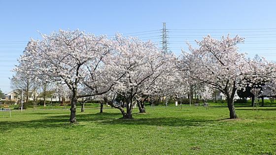 大泉緑地の桜 2021(「桜広場」の3本の桜)