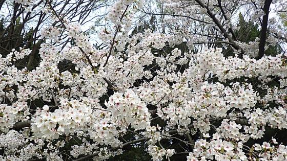 大泉緑地の桜 2020 Part1 「わんぱくランド」のソメイヨシノ