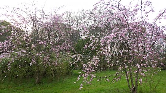 大泉緑地の桜 2020 Part1 「加呂登橋」近くの桜