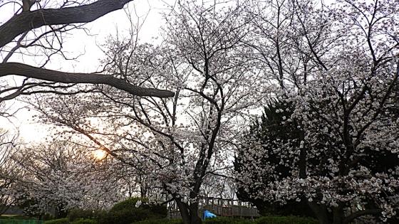 大泉緑地の桜 2020 Part1 「冒険ランド」裏のソメイヨシノ