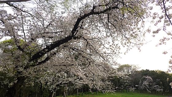 大泉緑地の桜 2020 Part1 「双ヶ丘」のソメイヨシノ