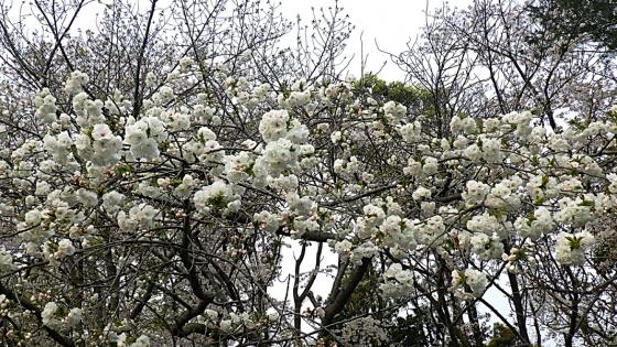 大泉緑地の桜 2020 Part1 「桜広場」外周の八重桜
