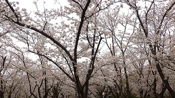 大泉緑地の桜 2020 Part2 「桜広場」のソメイヨシノ 少し高くなったところで