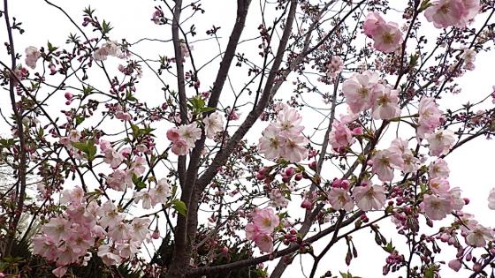 大泉緑地の桜 2020 Part2 「桜広場」の「陽光桜」