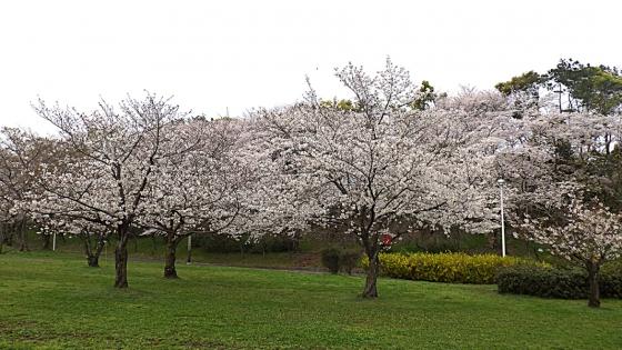 大泉緑地の桜 2020 Part2 「桜広場」のソメイヨシノ 外周の桜と合わせて