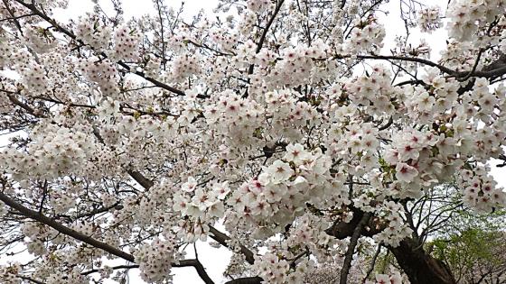 大泉緑地の桜 2020 Part2 「桜広場」のソメイヨシノ 一面の花