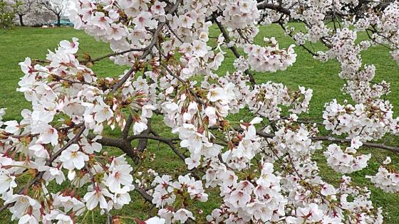 大泉緑地の桜 2020 Part2 「桜広場」のソメイヨシノ 見下ろすように
